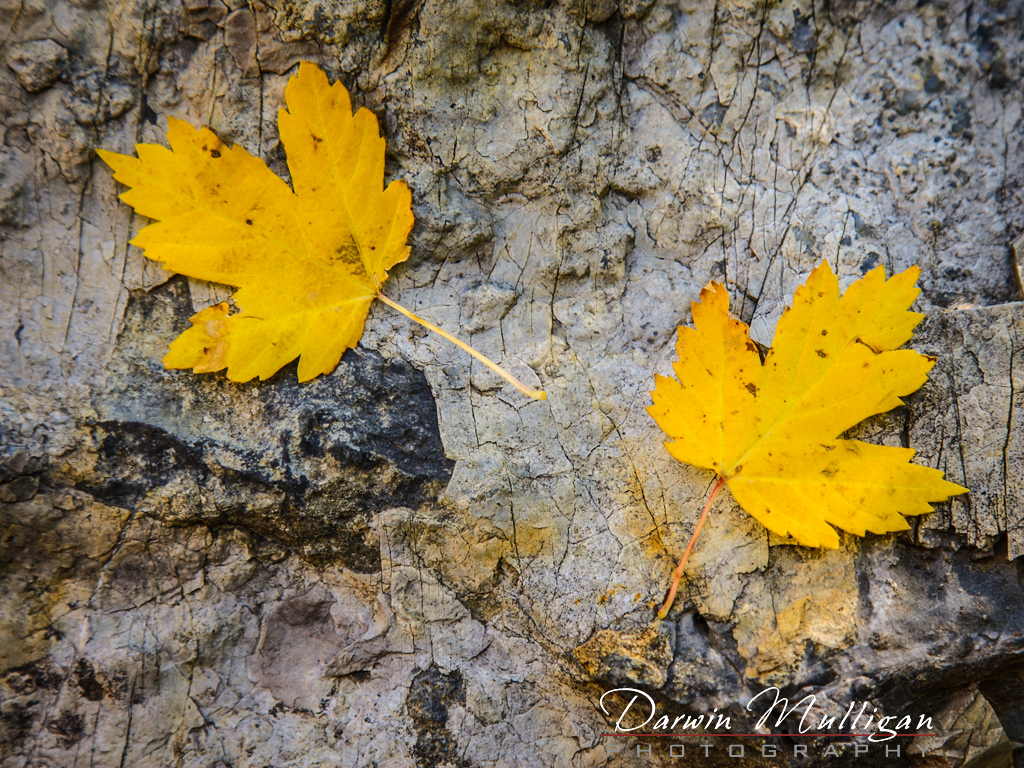 Colorado-Maple-Leaves-at-Marble