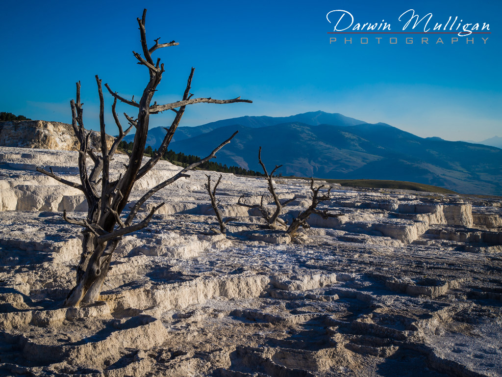 Old-tree-Mammoth-Hot-Springs-Yellowstone-National-Park-Wyoming