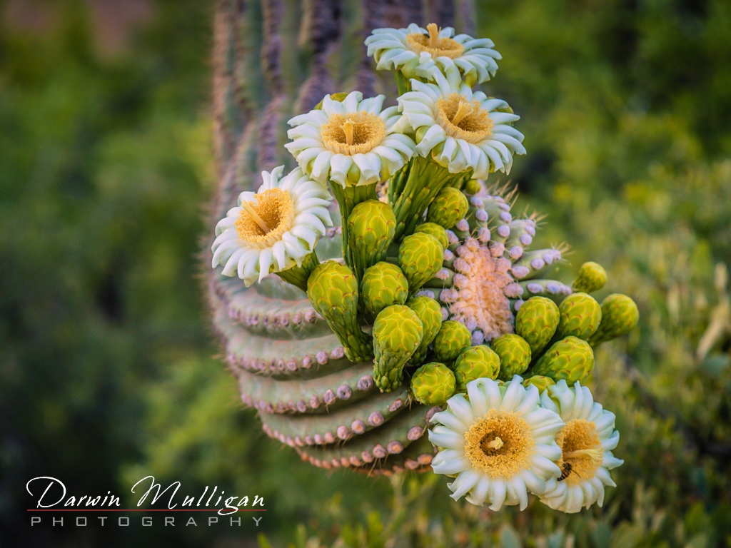 blooming-cactus-early-morning-superstition-mountains-arizona